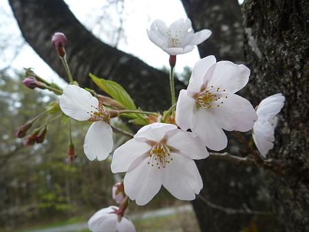 明治百年記念公園の桜05(2011.5.11)