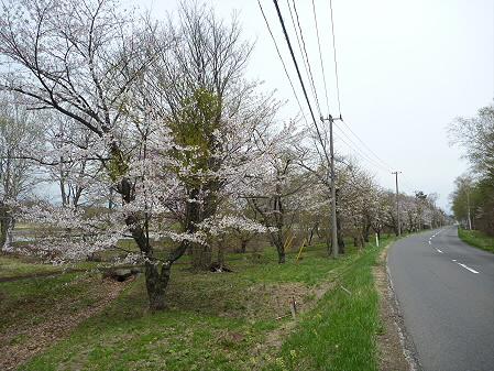 明治百年記念公園の桜02(2011.5.11)