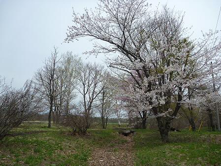 明治百年記念公園の桜01(2011.5.11)