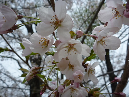 明治百年記念公園の桜03(2011.5.11)