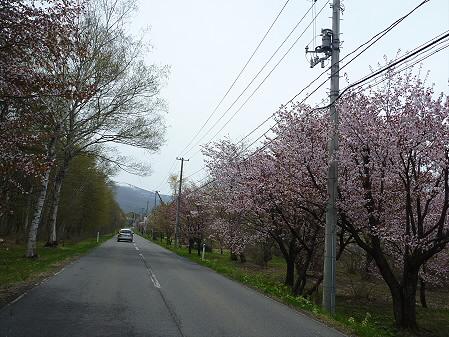 明治百年記念公園の桜06(2011.5.11)