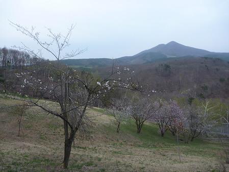 桜松公園の桜02(2011.5.11)
