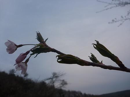 桜松公園の桜03(2011.5.11)