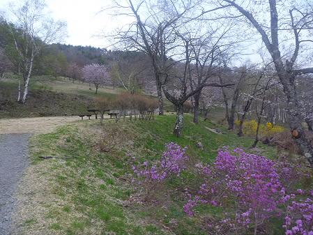 桜松公園の桜06(2011.5.11)