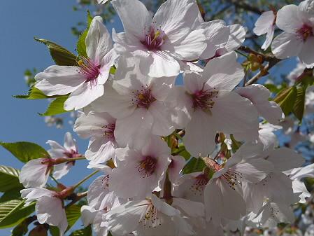 上坊牧野手前の桜並木03(2011.5.12)