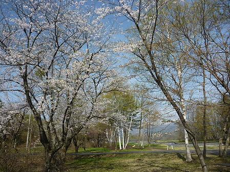 明治百年記念公園の桜01(2011.5.12)