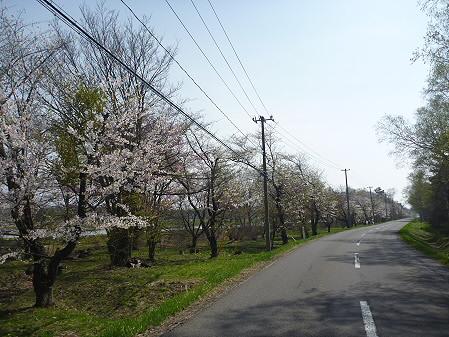 明治百年記念公園の桜02(2011.5.12)