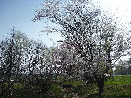 明治百年記念公園の桜03(2011.5.12)