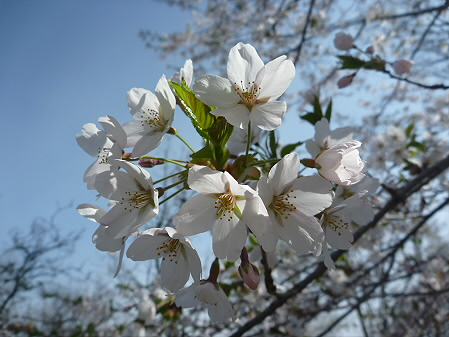 明治百年記念公園の桜04(2011.5.12)
