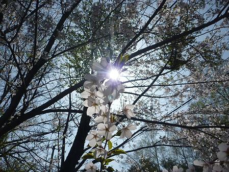 明治百年記念公園の桜05(2011.5.12)