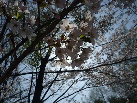 明治百年記念公園の桜06(2011.5.12)