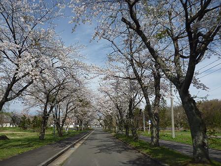 八幡平トラウトガーデンの桜01(2011.5.13)