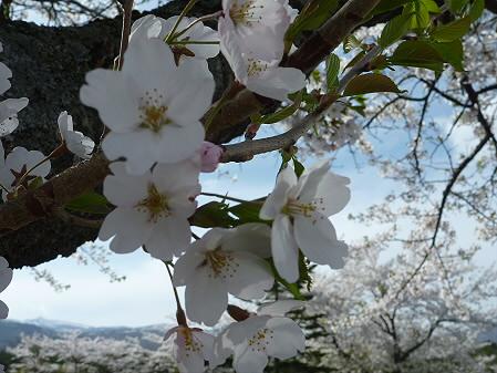 八幡平トラウトガーデンの桜02(2011.5.13)