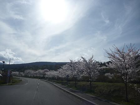 八幡平市さくら公園の桜01(2011.5.12)