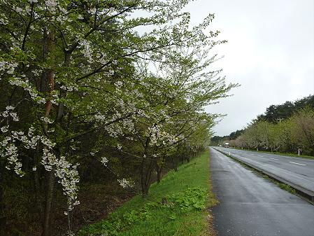 上坊牧野手前の桜並木02(2011.5.13)