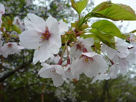 上坊牧野手前の桜並木03(2011.5.13)