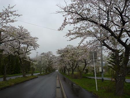 八幡平トラウトガーデンの桜04(2011.5.13)