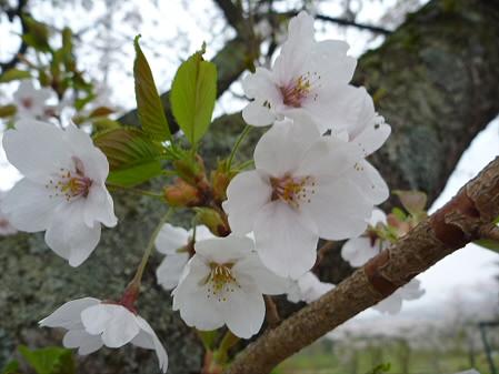 八幡平トラウトガーデンの桜05(2011.5.13)