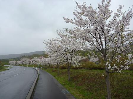 八幡平市さくら公園の桜02(2011.5.13)