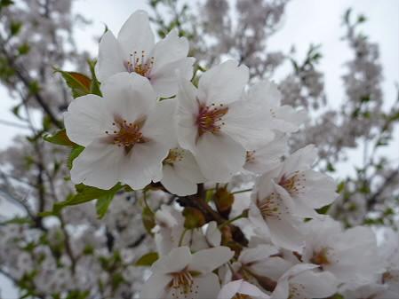 八幡平市さくら公園の桜03(2011.5.13)