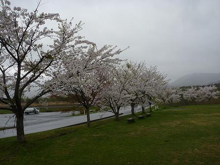 八幡平市さくら公園の桜04(2011.5.13)