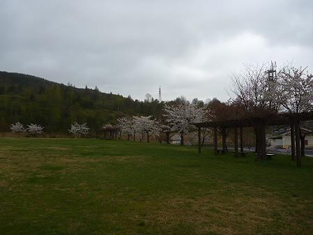 八幡平市さくら公園の桜06(2011.5.13)