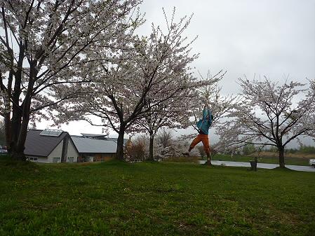 八幡平市さくら公園の桜01(2011.5.13)