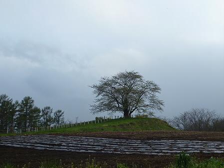 為内の一本桜01(2011.5.13)