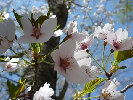 明治百年記念公園の桜02(2011.5.15)
