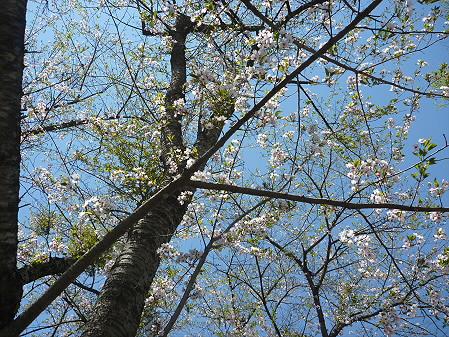 明治百年記念公園の桜03(2011.5.15)