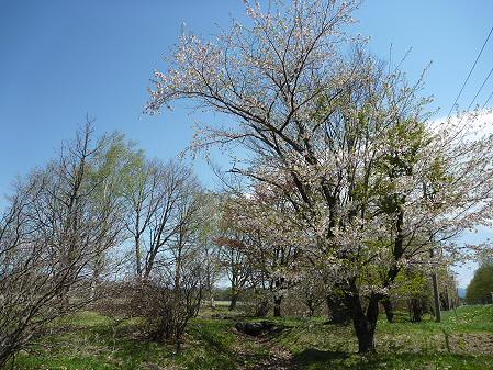 明治百年記念公園の桜04(2011.5.15)