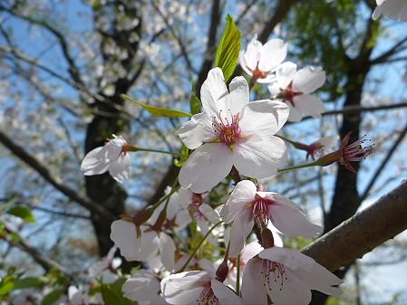 明治百年記念公園の桜05(2011.5.15)