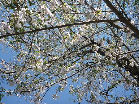 明治百年記念公園の桜06(2011.5.15)