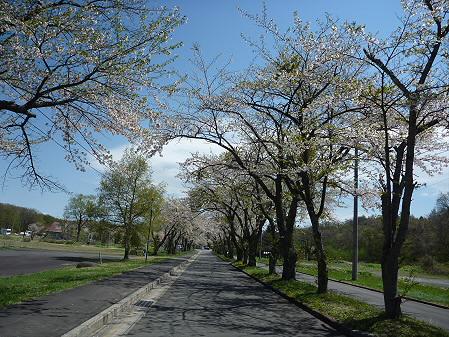 八幡平トラウトガーデンの桜02(2011.5.15)