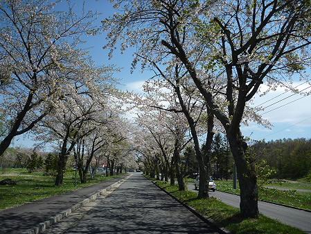 八幡平トラウトガーデンの桜03(2011.5.15)