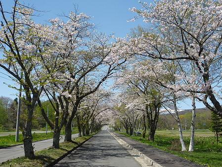八幡平トラウトガーデンの桜04(2011.5.15)