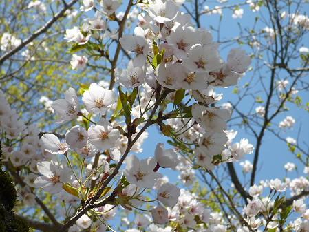 八幡平トラウトガーデンの桜05(2011.5.15)