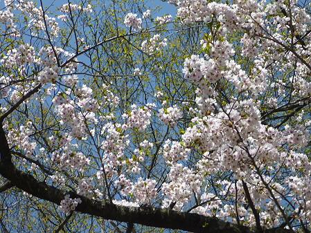 八幡平トラウトガーデンの桜06(2011.5.15)