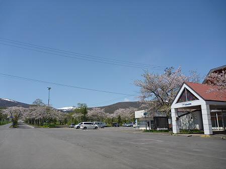 八幡平トラウトガーデンの桜08(2011.5.15)