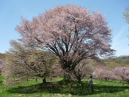 岩手県県民の森の桜01(2011.5.15)