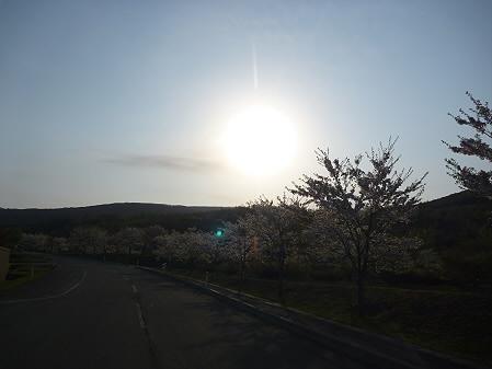 八幡平市さくら公園の桜02(2011.5.15)