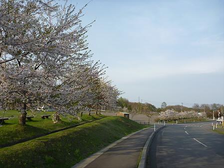 八幡平市さくら公園の桜03(2011.5.15)
