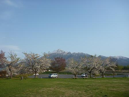 八幡平市さくら公園の桜01(2011.5.15)