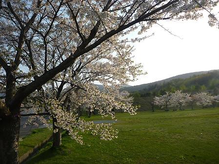 八幡平市さくら公園の桜05(2011.5.15)