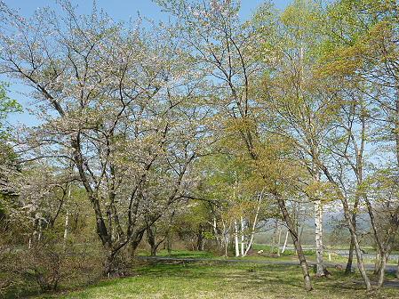 明治百年記念公園の桜03(2011.5.16)