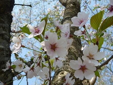 明治百年記念公園の桜04(2011.5.16)