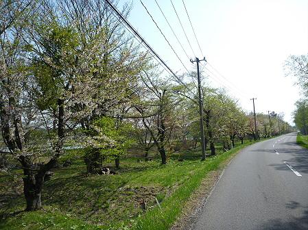 明治百年記念公園の桜05(2011.5.16)
