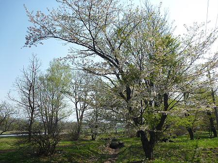 明治百年記念公園の桜06(2011.5.16)