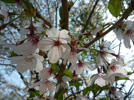 明治百年記念公園の桜07(2011.5.16)