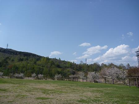 八幡平市さくら公園の桜02(2011.5.16)